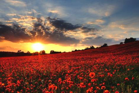 armistice_day_poppy_field